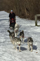 Our sled dogs run hard.