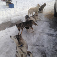 The sled dogs wait on the picket before a run
