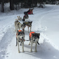 The sled dog team waits during a break in the action