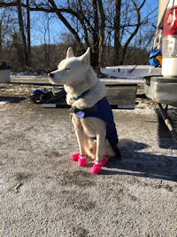 Lumos is a big, white strong dog who runs in the point and swing positions with Maryland Sled Dog Adventures