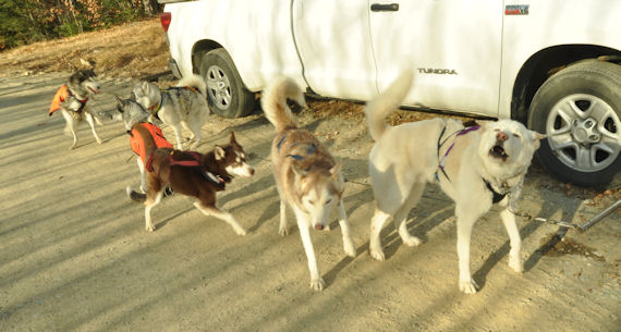 The sled dog team looks excited to hit the trails in central Maine.