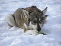 Zoe, our Alaskan husky, chews a tennis ball in the snow in Killington, Vermont.
