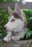 Sobo, our red and white Siberian Husky, only a few days after he came home.