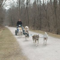 Dryland dog sledding through Northern Baltimore county.